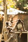 Mono de araña Foto de archivo libre de regalías