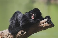 Mono de araña Black-faced Imagen de archivo