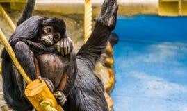 Mono de araña de cabeza negra embarazada, primate en el embarazo, especie animal críticamente en peligro de América foto de archivo