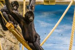 Mono de araña de cabeza negra que cuelga en algunas cuerdas, retrato de un primate críticamente en peligro de América foto de archivo libre de regalías