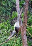 Mono de araña centroamericano Imagenes de archivo