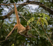 Mono de araña curioso Fotos de archivo libres de regalías
