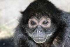 Mono de araña de cabeza negra Fotografía de archivo