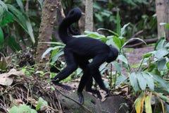 Mono de araña de cabeza negra Imagen de archivo libre de regalías