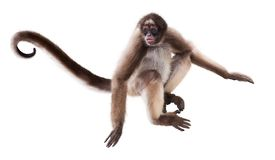 Mono de araña de pelo largo foto de archivo
