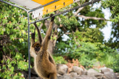Mono de araña del bebé Fotos de archivo