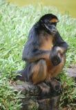 Mono de araña en el parque zoológico en Iquitos, Perú Foto de archivo libre de regalías