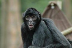 Mono de araña (fusciceps del Ateles) Imagenes de archivo