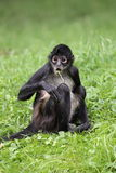 mono de araña Negro-dado Fotos de archivo libres de regalías