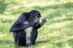 mono de araña Negro-dado que come el melón amarillo dulce foto de archivo libre de regalías