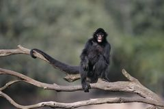 mono de araña Negro-hecho frente, chamek del Ateles Foto de archivo libre de regalías