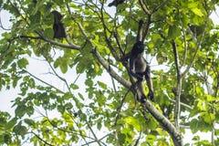 Mono de ara?a que mira de un ?rbol en el ecuatoriano el Amazonas MisahuallÃ, Ecuador imagen de archivo