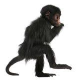 Mono de araña Red-faced, paniscus del Ateles Imágenes de archivo libres de regalías