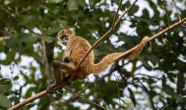 Mono de araña relajante Foto de archivo