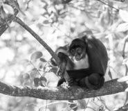 Mono de araña de Yucatán blanco y negro fotografía de archivo libre de regalías
