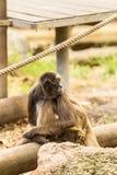 Mono de araña Fotografía de archivo