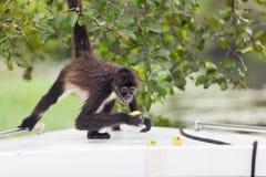 Mono de araña con la fruta Fotos de archivo