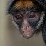 Mono de araña de pecho blanco Fotos de archivo
