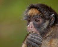 Mono de araña de pecho blanco Imagenes de archivo