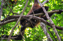 Mono de araña, parque de Corcovado, Costa Rica Fotos de archivo libres de regalías