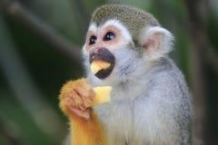 Mono de ardilla 4 Foto de archivo libre de regalías