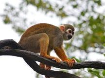 Mono de ardilla Fotos de archivo libres de regalías