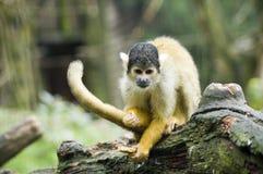 Mono de ardilla Imagenes de archivo