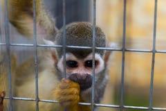 Mono de ardilla común Imagenes de archivo