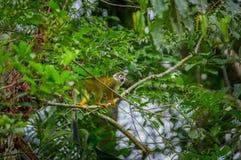 Mono de ardilla común que juega en los árboles, dentro del parque nacional de Cuyabeno en Ecuador, Suramérica Fotografía de archivo
