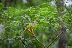 Mono de ardilla común que juega en los árboles, dentro del parque nacional de Cuyabeno en Ecuador, Suramérica Fotos de archivo