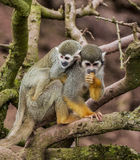 Mono de ardilla con del bebé la parte posterior encendido Fotos de archivo