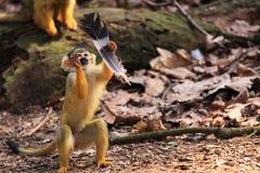 Mono de ardilla con la pluma Fotografía de archivo