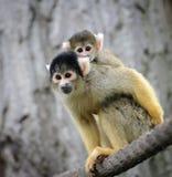 Mono de ardilla con su pequeño bebé lindo Foto de archivo libre de regalías