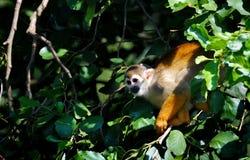 Mono de ardilla en árbol Imagenes de archivo