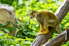 Mono de ardilla en el chiangmai Tailandia del parque zoológico del chiangmai Imagen de archivo