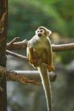 Mono de ardilla en el chiangmai Tailandia del parque zoológico del chiangmai Imágenes de archivo libres de regalías