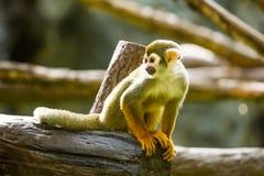 Mono de ardilla en el chiangmai Tailandia del parque zoológico del chiangmai Foto de archivo