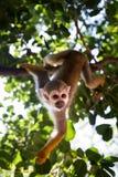 Mono de ardilla en Hay Park en Kiryat Motzkin, Israel Imágenes de archivo libres de regalías