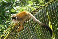 Mono de ardilla en la fronda de la palma Imagen de archivo