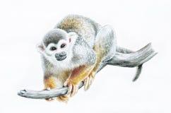 Mono de ardilla en la rama, ejemplo animal del lápiz del color del parque zoológico Imagen de archivo libre de regalías