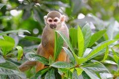 Mono de ardilla en un árbol fotos de archivo
