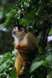 Mono de ardilla - oerstedii del Saimiri Fotografía de archivo libre de regalías