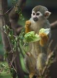 Mono de ardilla que come una hoja de la lechuga fotos de archivo libres de regalías