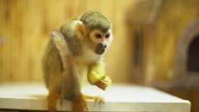 Mono de ardilla Sajmir almacen de video