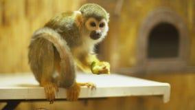 Mono de ardilla Sajmir almacen de metraje de vídeo