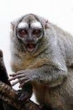 Mono de búho Imagenes de archivo