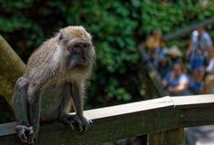 Mono de Bali imagen de archivo libre de regalías