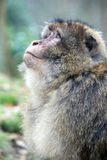 Mono de Barbary fotografía de archivo