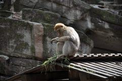 Mono de Barbary que se sienta en el tejado Imagenes de archivo