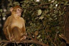 Mono de Barbary (sylvanus del Macaca) en madera del cedro cerca Fotografía de archivo
